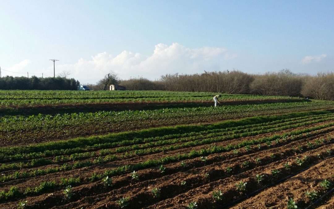 El Cistell amplia el seus cultius