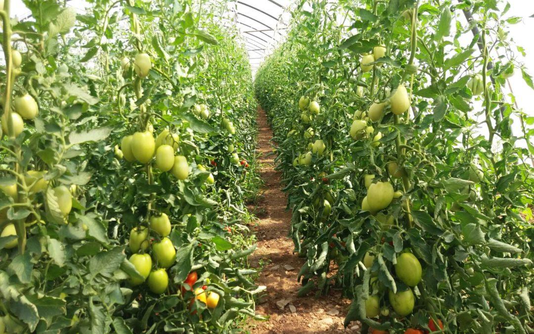 La tomaca