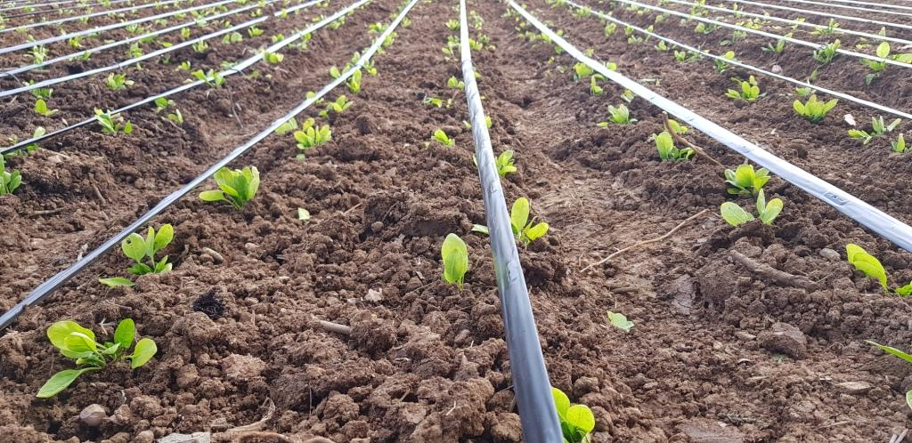 Plantem espinacs