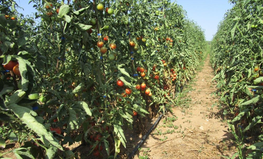 Els primers tomacons de la temporada