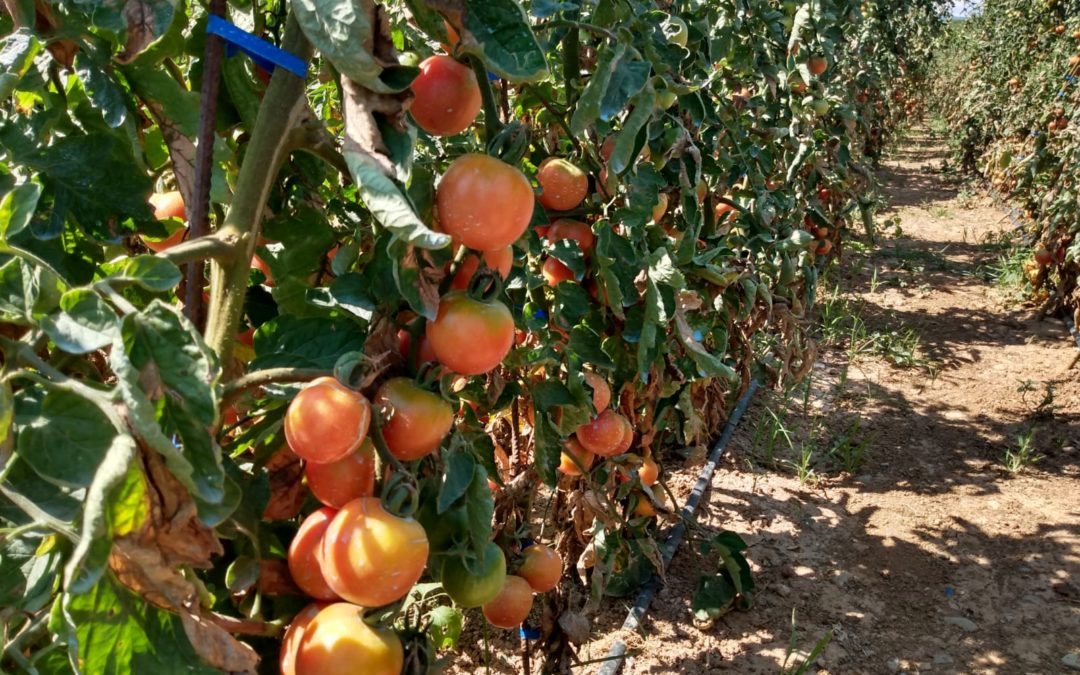 Els primers tomacons