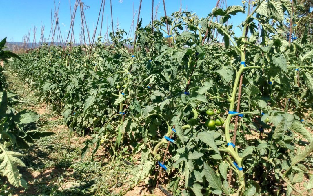 Les tomaqueres